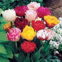 15 Double late Tulips Mixed 10/11cm