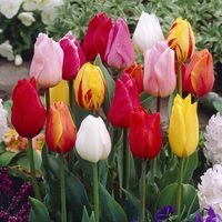 15 Single Early Tulips Mixed 10/11cm