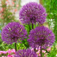 10 Allium Powder Puff