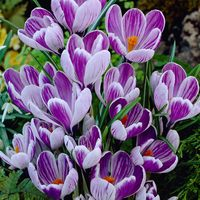 25 Crocus King of the Striped 7/8cm