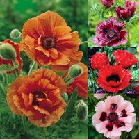 4 Papaver Collection (Oriental Poppy)