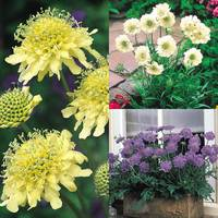 Scabiosa Perpetual Flowering Collection