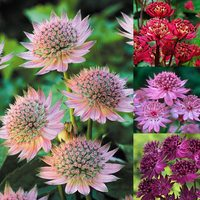 4 Astrantia Collection