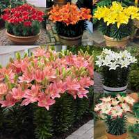 30 Short Stemmed Lily Collection