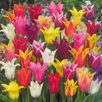 15 Lily Flowering Tulips Mixed