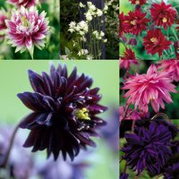 6 Double Flowered Aquilegia Collection