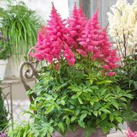 Astilbe Dwarf Patio Drum And Bass