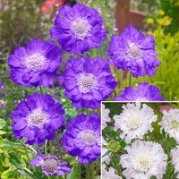 12 Scabiosa Caucasica Collection