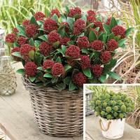2 Skimmia japonica Dwarf Collection