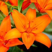 5 Lilium Orange Ton