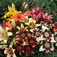 10 Lilium Asiatic Bi-Colour Mix