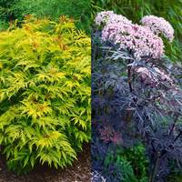 2 Sambucus Collection