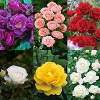 6 Rose Floribunda Collection