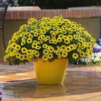 6 Argyranthemum Grandaisy Bright Yellow