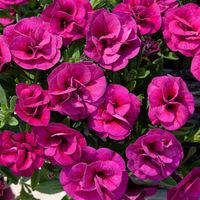 6 Calibrachoa Can Can Magenta