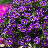 6 Calibrachoa Starlight Blue