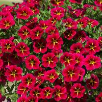 6 Calibrachoa Starlight Cherry