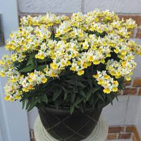 6 Nemesia Sunpeddle Yellow/White