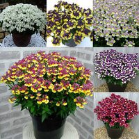 18 Nemesia Super Fragrant Collection