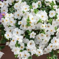 6 Bacopa Scopia Gulliver White