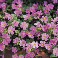 6 Bacopa Scopia Great Pink Beauty