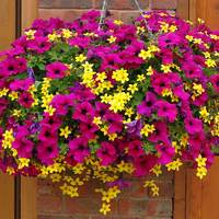 12 Petunia/Bidens Collection