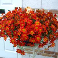 6 Bidens Beedance Painted Red