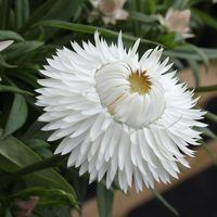 5 Helichrysum Nevada White