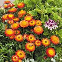 5 Helichrysum Nevada Orange