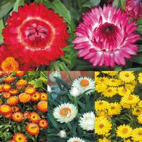 5 Helichrysum Nevada Collection