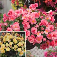 6 Begonia Sweet Spice Collection