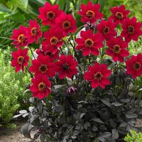 6 Dahlia Happy Days Red