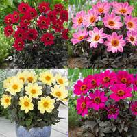 4 Dahlia Happy Days Collection