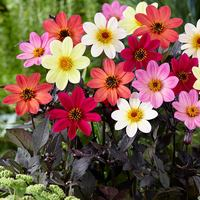 6 Dahlia Happy Days Mixed