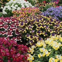 6 Nemesia Scented Mixed
