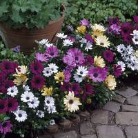 6 Osteospermum Single Flowered Mix