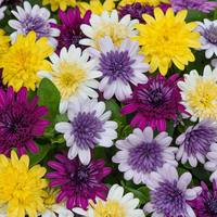 6 Osteospermum Double Flowered Mixed