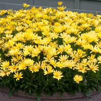 6 Osteospermum Voltage Yellow