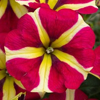 6 Petunia Queen of Hearts