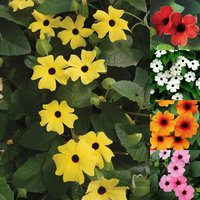 5 Thunbergia alata Sunny Susy Collection