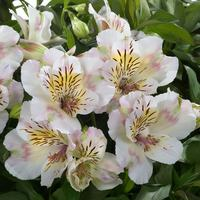 Alstroemeria Summer Paradise Times Valley