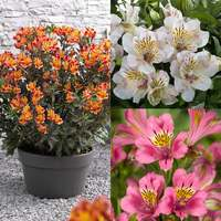 3 Alstroemeria Summer Paradise Collection