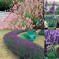 18 English Lavender Collection