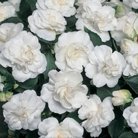 6 Impatiens Double Diadem White