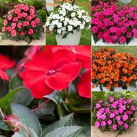 6 Impatiens Sunpatiens Compact Collection