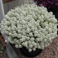 6 Lobularia Awesome White