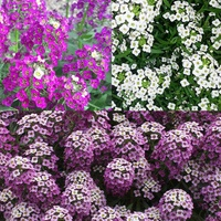 6 Lobularia Awesome Collection