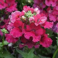 6 Nemesia Lyric Cherry
