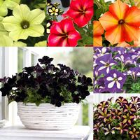 18 Petunia Crazytunia Collection