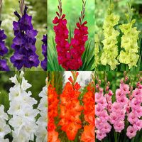 90 Gladioli Large Flowering Collection